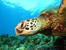 maui-green-sea-turtle