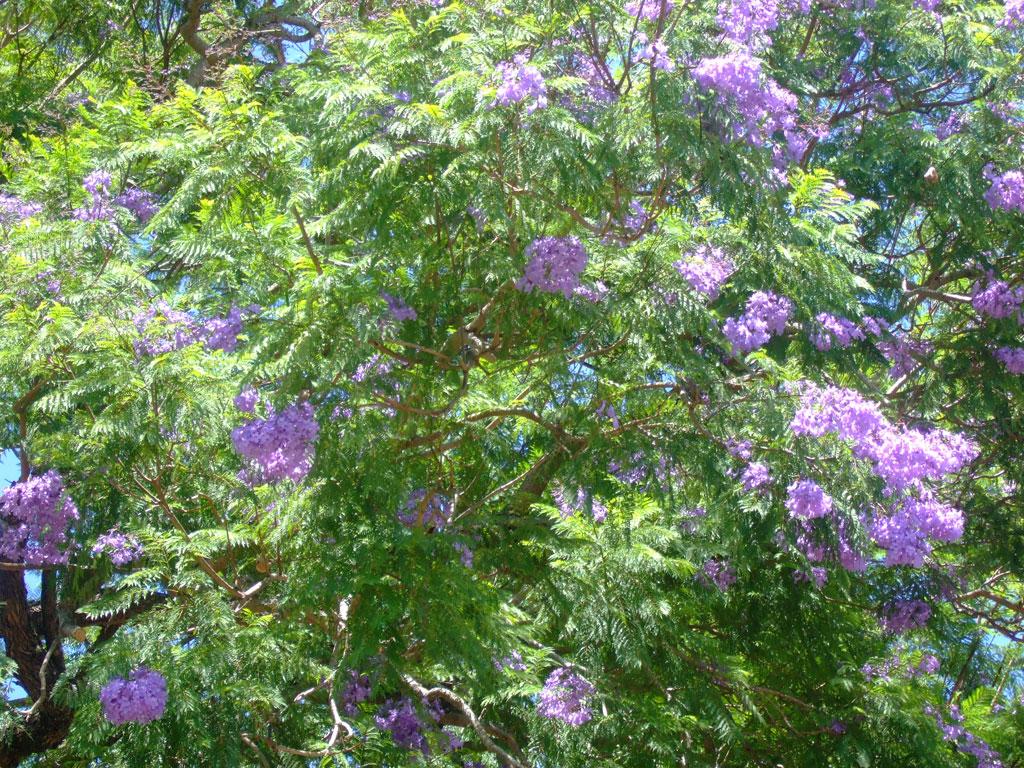 maui-jacaranda-tree